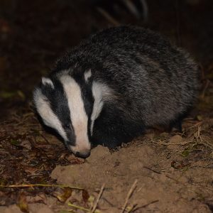 Buckinghamshire Badger Group