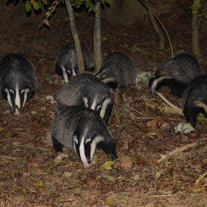 Buckinghamshire Badger Group