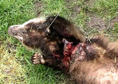 Badger persecution and illegal activities
